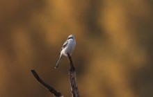 Great grey shrike - Klapekster ssp Homeyeri