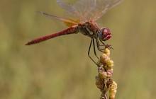 Red-veined Darter / Zwervende Heidelibel - man