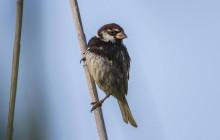 Spanish sparrow / Spaanse mus