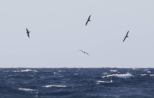 Cory's shearwater / Kuhl's pijlstormvogel