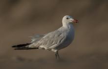 Audouin's Gull / Audouin's Meeuw