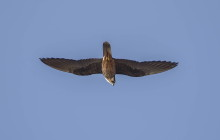 Eleonora falcon / Eleonora valk