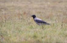 Hooded crow - Bonte kraai