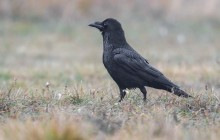 Raven -  Raaf