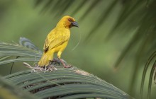 Goudwever - Eastern golden weaver